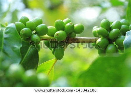 Unripe green coffee berries on the bush
