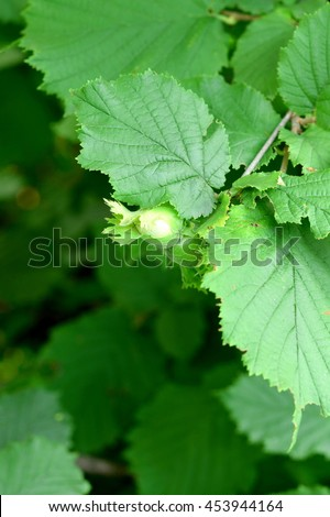 Unripe green hazelnuts on a branch. Cultivation of hazelnuts in a garden outdoors. Eco green background