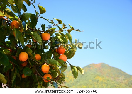 Unripe persimmon and green leaves with mountain view