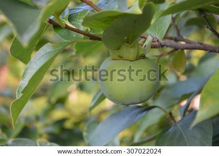 unripe persimmon on branch - stock photo
