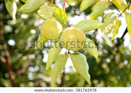 Unripe persimmon on branch. Persimmon tree in Montenegro - stock photo