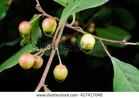 unripe wild berries after rain (poisonous) - stock photo