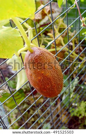 Unusual Brown Russian cucumber growing on wire netting in a vegetable patch
