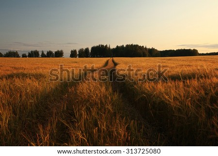 unusual curved landscape at sunset wheat field
