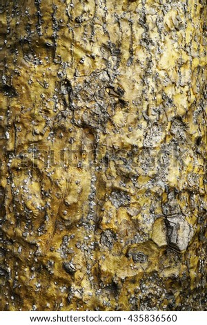 unusual gold bark on an Australian native tree - stock photo