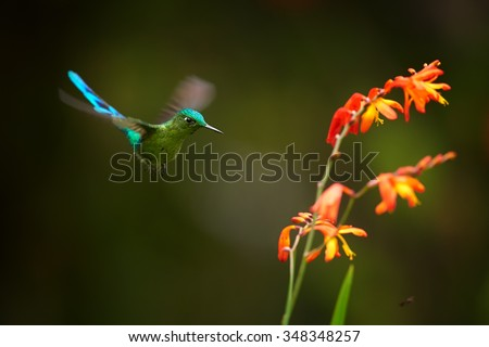 Unusual hummingbird Long-tailed Sylph Aglaiocercus kingi showing off its best colors  in its natural environment, hovering next to red and orange colored flowers. Dark green background.