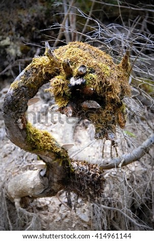 unusual root in the moss in Ukraine