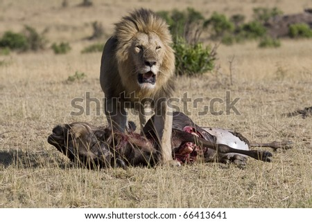 Up close & personal with a male lion & his prey in the Mara. - stock photo