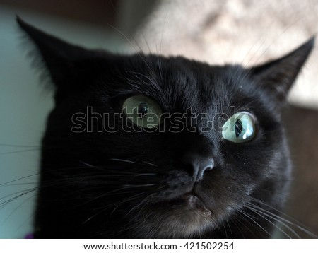 Up Close Portrait of  Exotic Black Short Haired Cat with Green Eyes