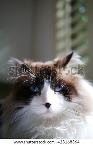 Up Close Portrait of Noble Bi Color Brown White Ragdoll Call with Black Nose and Beautiful Blue Eyes - stock photo