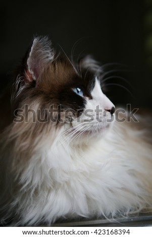 Up Close Side Angle Portrait of Bi Color Brown White Ragdoll Call with Black Nose and Beautiful Blue Eyes Looking Away - stock photo