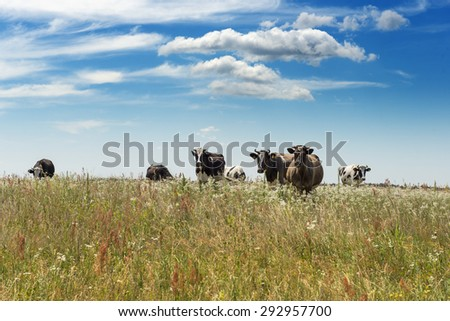 Upcoming herd of cows on grass field - stock photo
