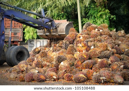 Uploading Palm Oil fruits. - stock photo