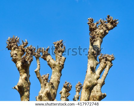 Upper branches of a plane tree (platanus)  pollarded completely. blue sky in background - stock photo