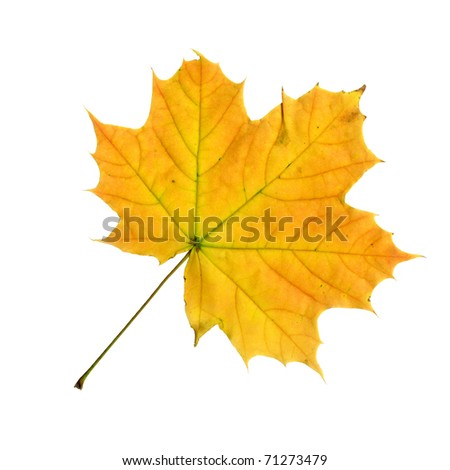 Upper surface of a maple leaf in autumn, Acer platanoides, isolated - stock photo