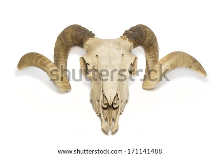Upper view ram skull - stock photo