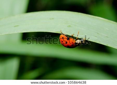 upside down ladybird - stock photo