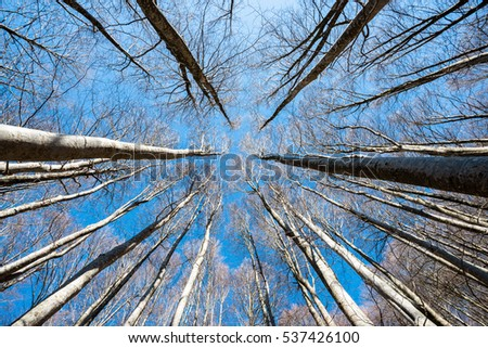 Upward perspective view of tall beech trees on a blue sky background