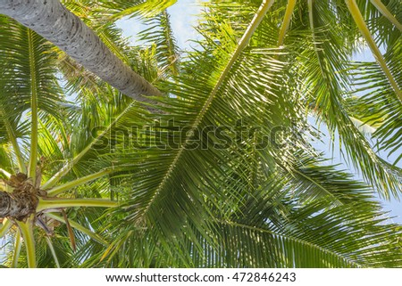 Upward view of a Hawaiian coconut grove on a trade wind summer day.