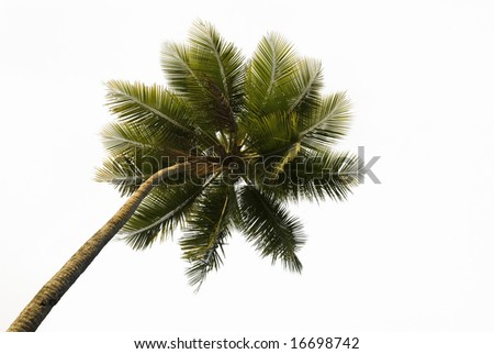 Upward view of a lone tropical palm tree isolated on white - stock photo