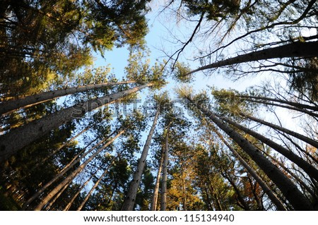 Upward view of trees - stock photo