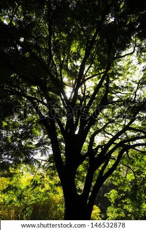 Upwards view of large tree canopy on the Road to Hana, Maui, Hawaii, USA - stock photo