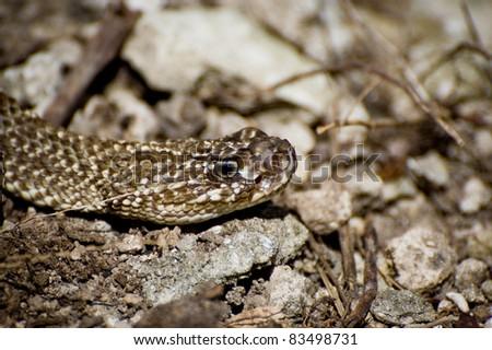 Uracoan Rattlesnake - stock photo