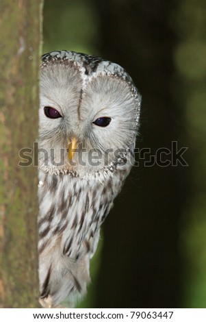 Ural Owl in Wood