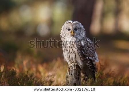 Ural owl portrait close up - stock photo