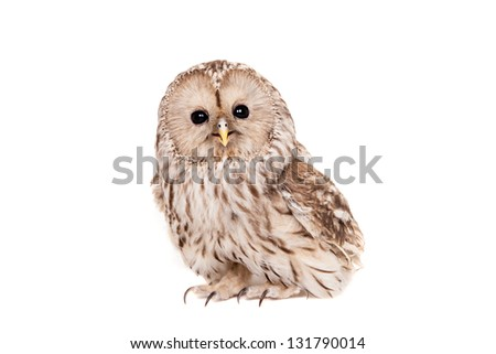 Ural Owl (Strix uralensis), isolated on the white background - stock photo