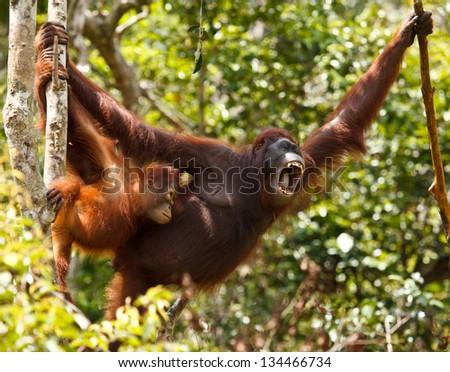 urangutan is endangered in indonisia - stock photo