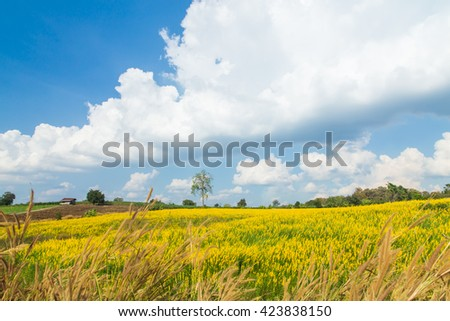 Urban Crotalaria flower,beautiful  fields  in Thailand