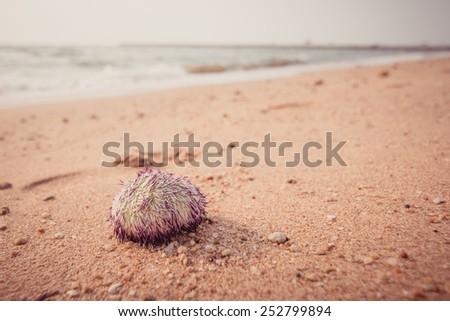 Urchin macro photography, Close up at beach backround - stock photo