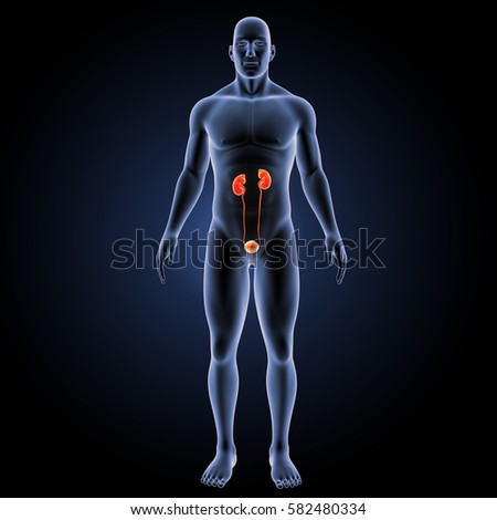 Urinary system anterior view 3d illustration