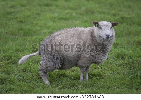 Urinating sheep in green meadow - stock photo