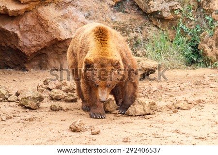 Ursus arctos. Brown Bear.