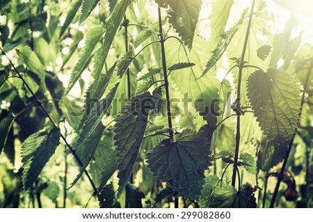 Urtica dioica, often called common nettle or stinging nettle (although not all plants of this species sting), is a herbaceous perennial flowering plant, native to Europe, Asia, northern Africa. - stock photo