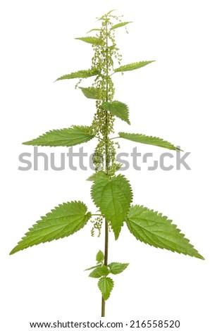 Urtica urens (Stinging nettle) plant isolated on white background - stock photo