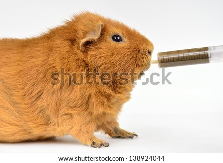 US-Teddy guinea with mashed emergency nutrition - stock photo