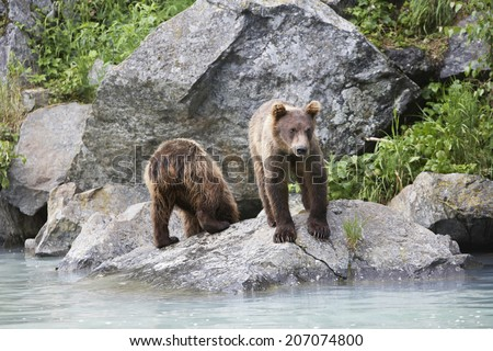 USA, Alaska, two Brown Bears beside river