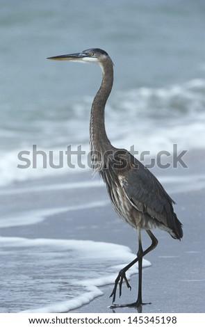 USA Florida Sanibel Island Great Blue Heron on beach side view - stock photo