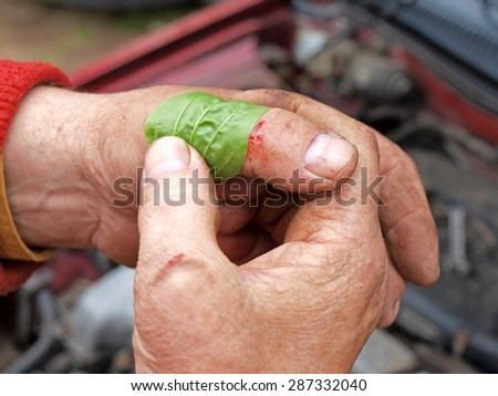 Use greater or broadleaf plantain for wound care on finger close up.       - stock photo