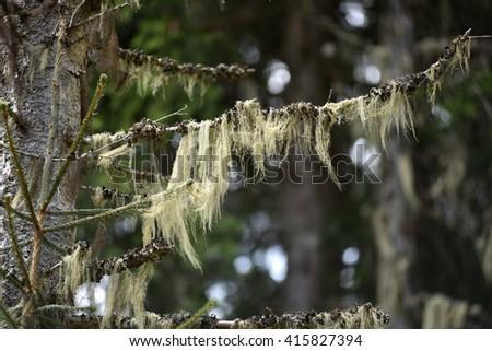 Usnea barbata, old man's beard hanging on a fir tree branch - stock photo