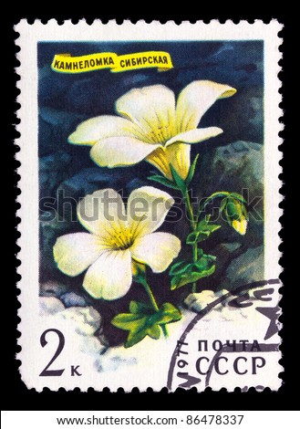 USSR - CIRCA 1977: a stamp printed in USSR shows Sibirian flower Saxifraga Sibirica, series, circa 1977