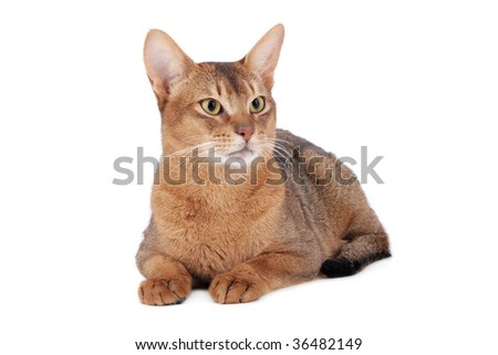 Usual Abyssinian cat on white