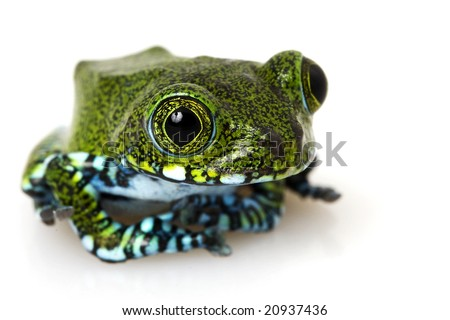 Usumbara Peacock Tree Frog (Leptopelis vermiculatus) on white background. - stock photo