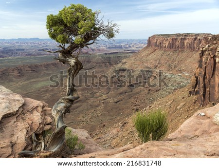 Utah Juniper (Juniperus osteosperma) tree on the edge of a deep canyon in Canyonlands National Park near Moab Utah. - stock photo