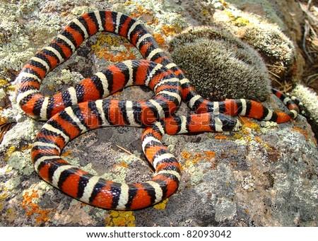 Utah Mountain King Snake, Lampropeltis pyromelana infralabialis - stock photo
