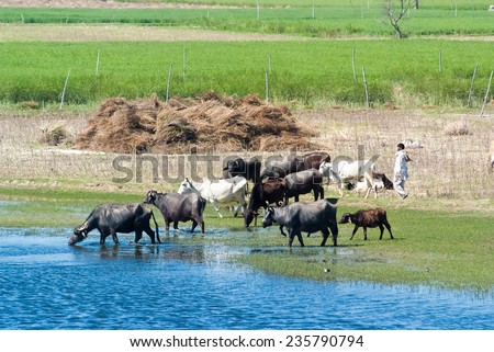 UTTAR PRADESH, INDIA- MAR 2: a local tends a herd of cattle in a field on March 2, 2013, in Uttar Pradesh, India. Oxen and cows are raised for meat, pulling carts, plows and the like in India. - stock photo