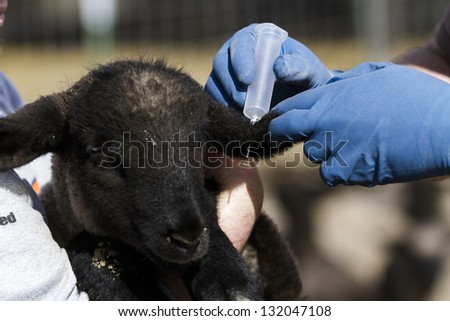 Vaccination of suffolk lamds on a local farm . - stock photo